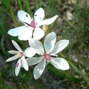 Milkmaids on NSW Southern Tablelands
