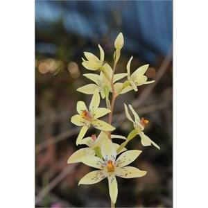 Thelymitra villosa