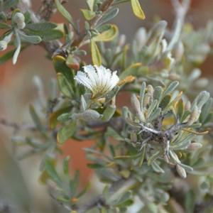 Scaevola spinescens