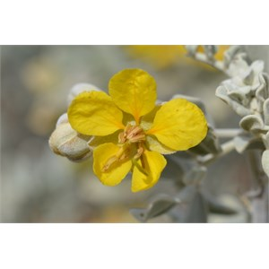 Senna helmsii - Blunt leaf Cassia
