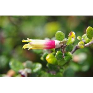 Correa backhousenna var. orbicularis - KI Correa