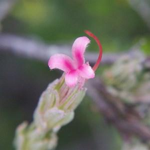 Adenathos macropodinna - Silver Bush