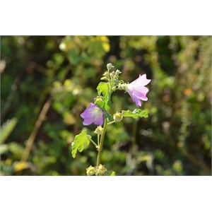 Malva behriana - Native Hollyhock
