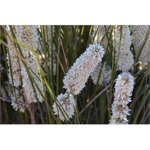 Lomandra leucocephala - Woolly Mat-rush