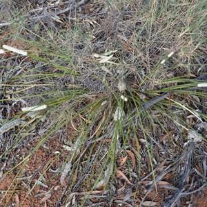 Lomandra leucocephala subsp. robusta - Woolly Head Mat Rush