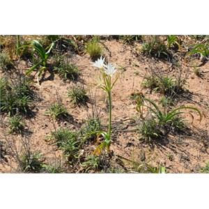 Crinum flaccidum - Darling Lily