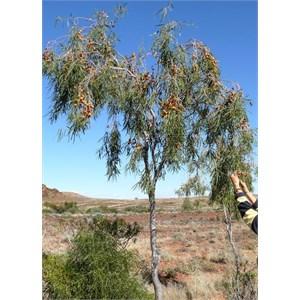Pittosporum angustifolium near Lake Torrens, SA