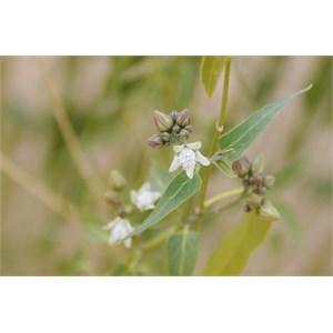 Cynanchum floribundum