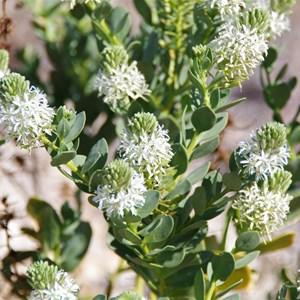 Lepidium pedicellosum