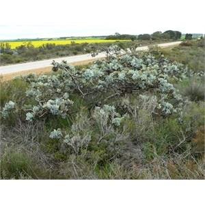 Straggling form of Eucalyptus macrocarpa