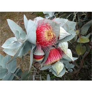 Eucalyptus macrocarpa near Mingenew, WA