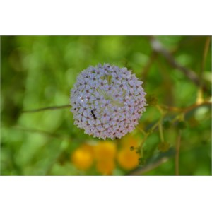 Trachymene glaucifolia