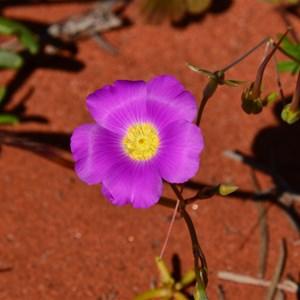 Calandrinia polyandra