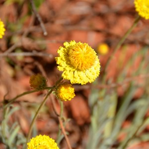 Rhodanthe citrina