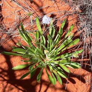 Brunonia australia, Maralinga