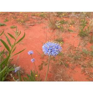 Native Blue Cornflower or Blue Pincushion