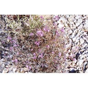 Frankenia serpyllifolia