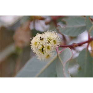 Eucalyptus microtheca