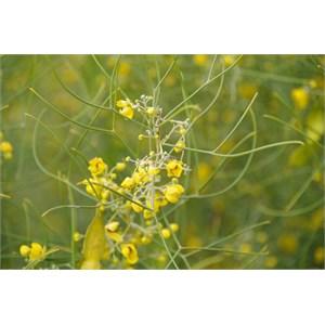 Senna artemisioides subsp. filifolia