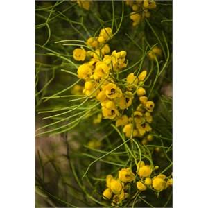Senna artemisioides subsp. filifolia – Desert Cassia