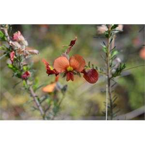 Red Parrot Pea