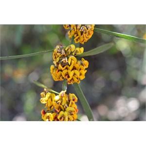 Daviesia leptophylla