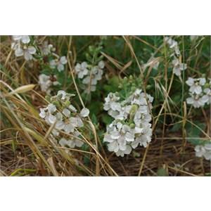 Goodenia albiflora