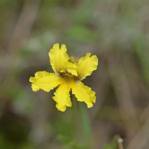 Goodenia blackiana