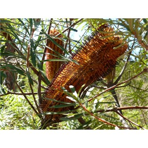 Banksia spinulosa, Girraween NP, Qld