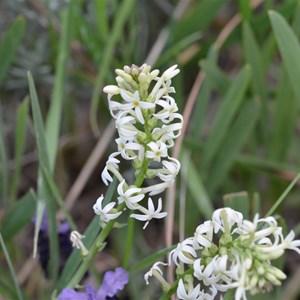 Stackhousia monogyna