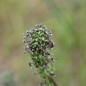 Acaena echinata