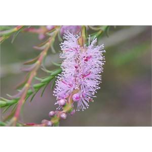 Melaleuca decussata