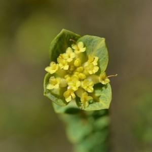 Pimelea serpyllifolia