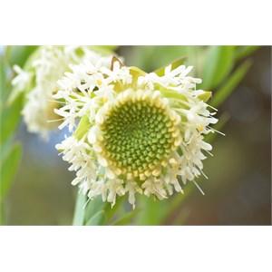 Pimelea octophylla