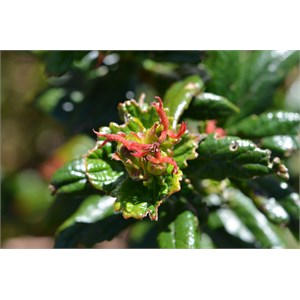 Coast Bitter Bush - Female Flower