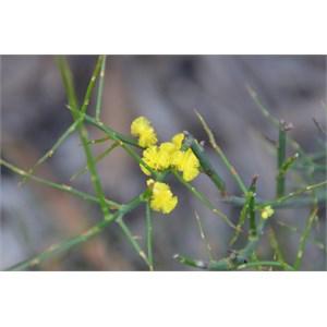 Acacia spinescens