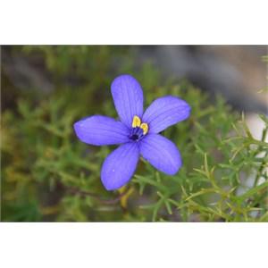 Cheiranthera alternifolia