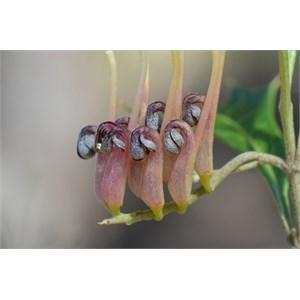 Grevillea ilicifolia