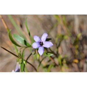 Billardiera versicolor