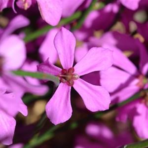 Tetratheca halmaturina