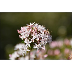 Calytrix glaberrima