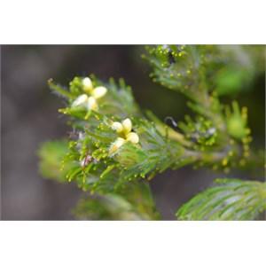 Adenanthos terinalis