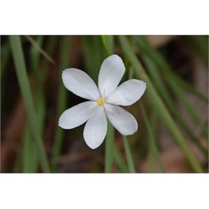 Orthrosanthus multiflorus