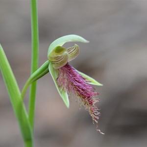 Calochilus robertsonii