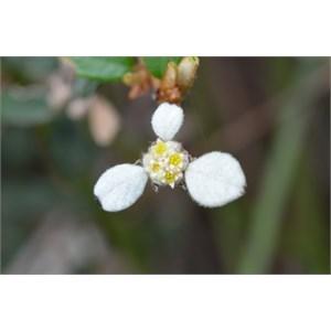 Spyridium phylicoides