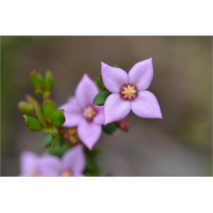 Boronia edwardsii