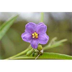 Solanum simile