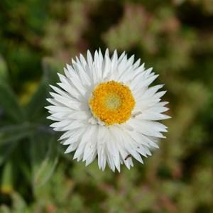Helichrysum leucopsideum