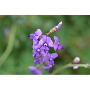 Swainsona lessertiifolia