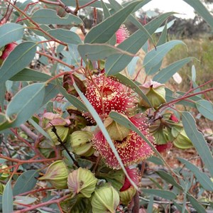 Eucalyptus youngiana, or large fruited mallee